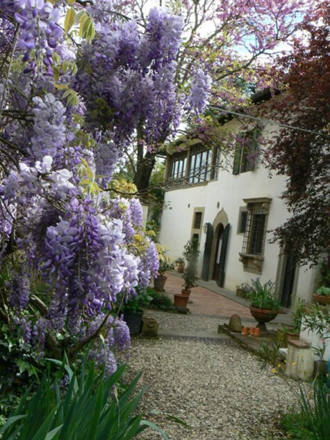 Wisteria in bloom at Il Palmerino